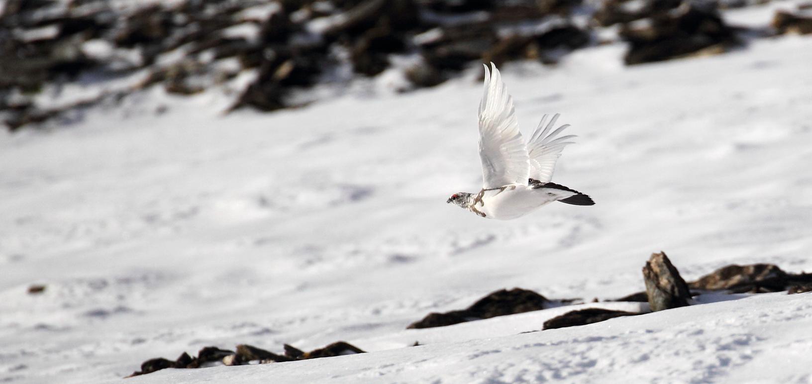 Pernice Bianca in volo - © Ruggero Casse